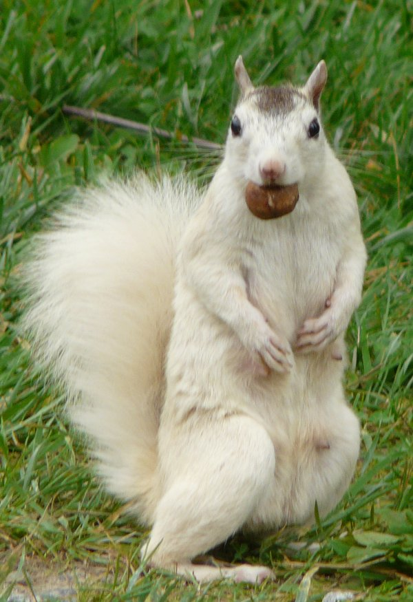 Faller.Brevard White Squirrel.jpg