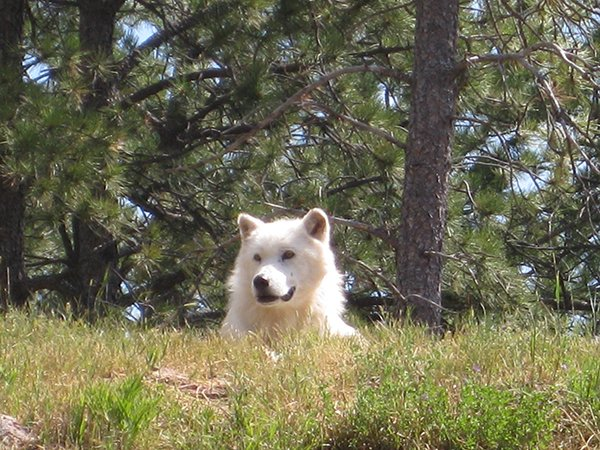 Arctic Wolf in Bear Country USA SD by Alex Young.jpg