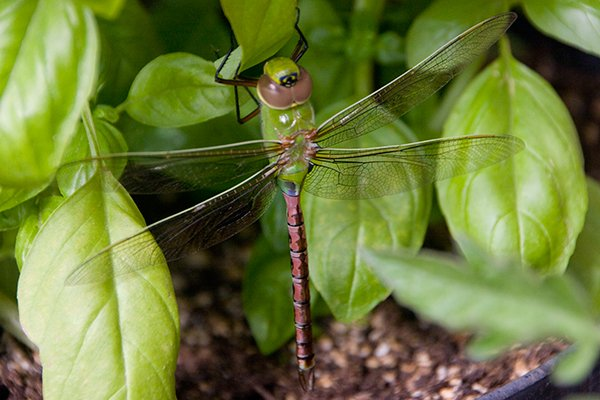 Common-Green-Darner---Anax-junius-by-Noah-Young.jpg