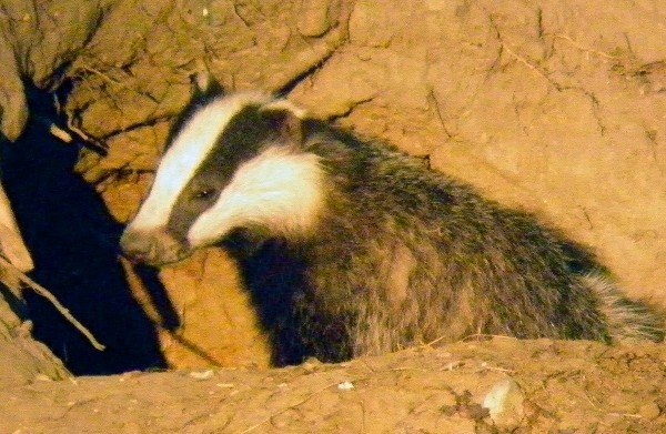 P6270008_Badger_doctored_600.JPG
