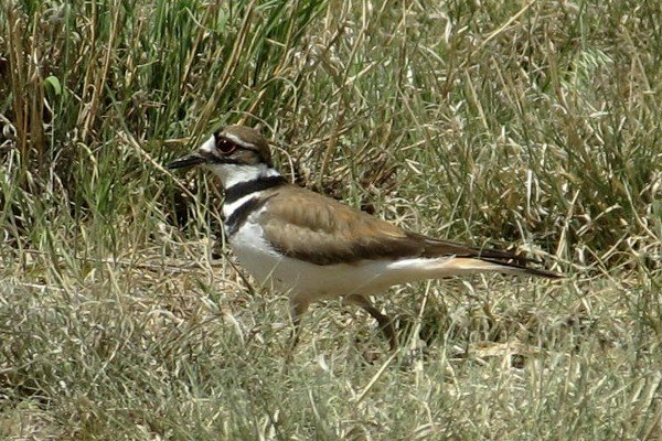 IMG_2743_Killdeer_600.jpg