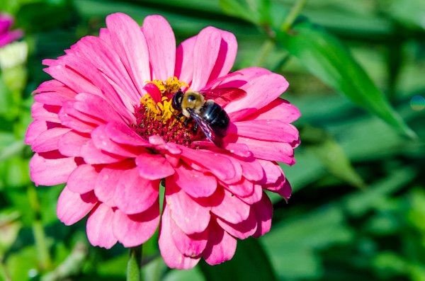 Worley.Xylocopa_virginica_on_Zinnia_sp.jpg