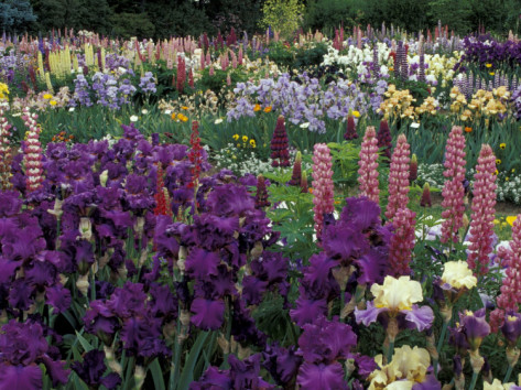 adam-jones-iris-garden-salem-oregon-usa.png