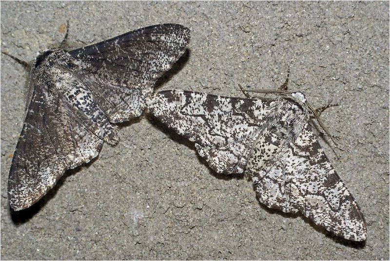 wikipedia_peppered_moths.jpg