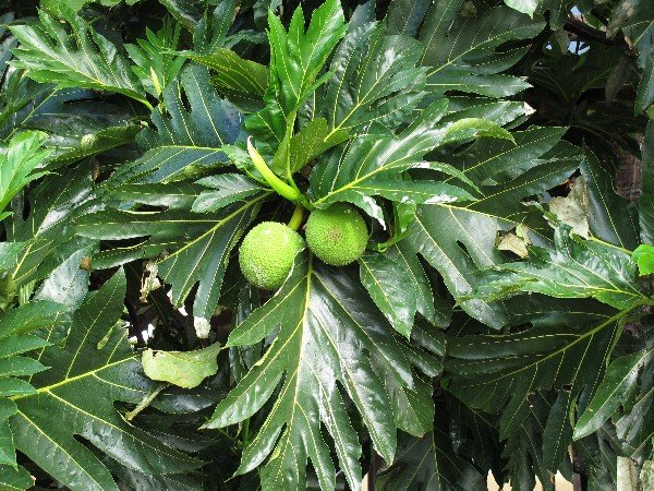 IMG_1578Breadfruit_600.JPG