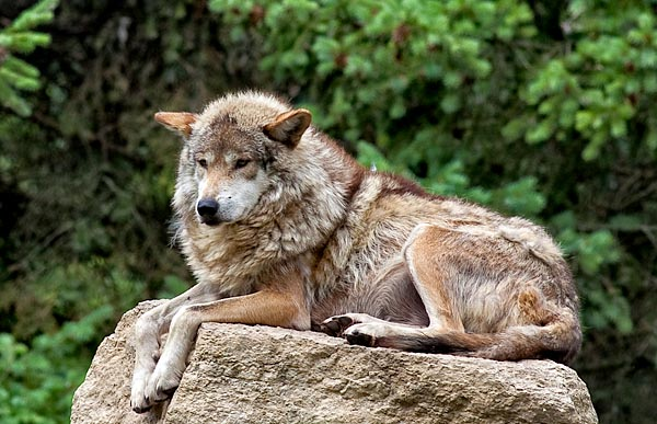 Stodola.MexicanWolf.jpg