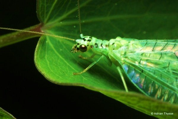 Thysse.Green Lace wing(Chrysopa sp.).jpg