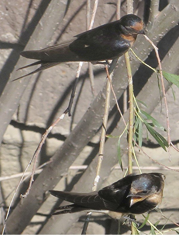 IMG_1089_Barn_Swallow_600.JPG